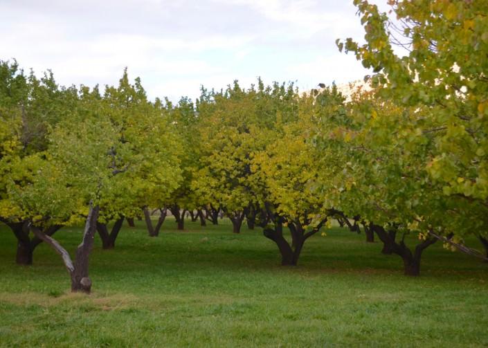 Orchard in Utah